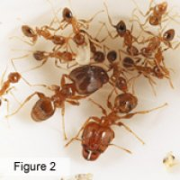 Pest control for costal brown ants Brisbane