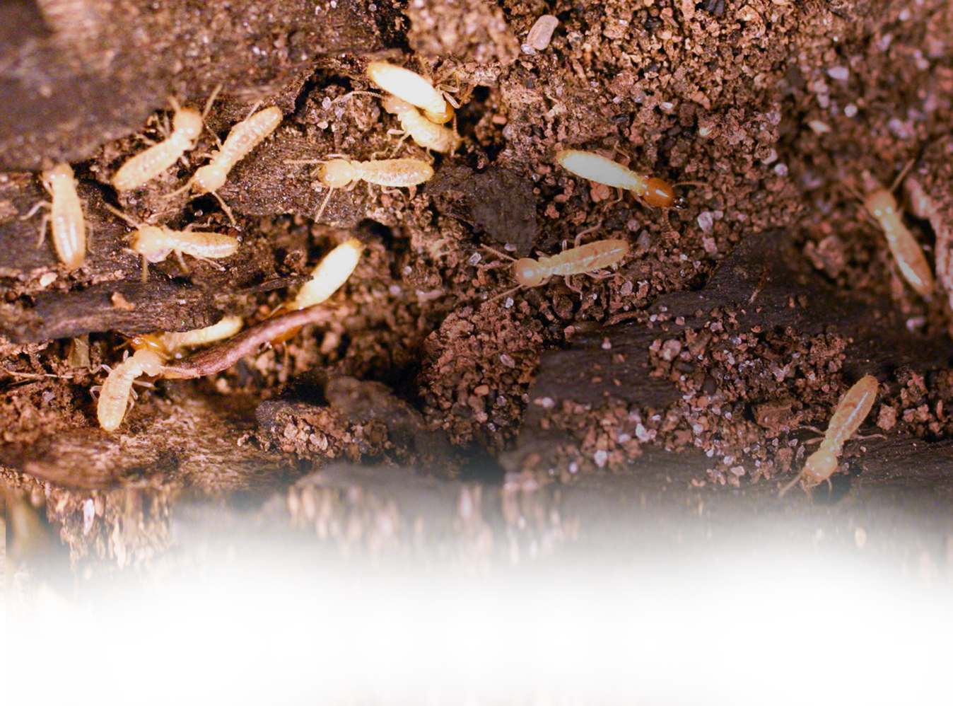 what does termite larva look like