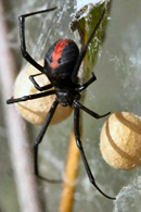 Pest Control for Redback Spiders