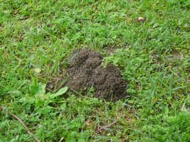 Pest control for funnel ants Brisbane