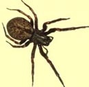 Pest Control for Black House Spiders